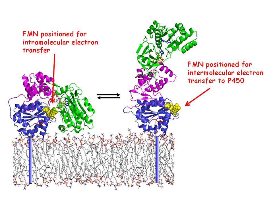 The team want to look at how the protein behaves in the membrane.